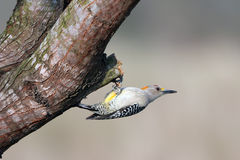 Golden-fronted Woodpecker, Melanerpes aurifrons Stock Photo