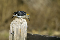 Golden-fronted Woodpecker, Melanerpes aurifrons Stock Image