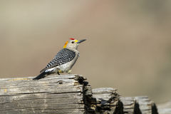 Golden-fronted Woodpecker, Melanerpes aurifrons Royalty Free Stock Photos