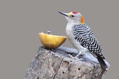 Golden-fronted Woodpecker - Texas Stock Photos