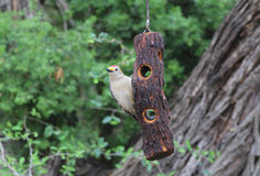 Golden-fronted Woodpecker Royalty Free Stock Images