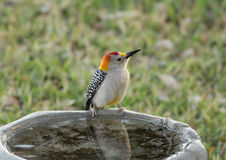 Golden-fronted Woodpecker (Melanerpes aurifrons) Royalty Free Stock Photos