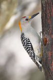 Golden-fronted Woodpecker Royalty Free Stock Photos