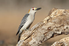 Golden-fronted Woodpecker - Texas. Male Golden-fronted Woodpecker (Melanerpes aurifrons) - Texas Stock Photography