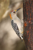 Golden-fronted Woodpecker - Texas Royalty Free Stock Photography
