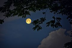 Burma padauk leaves and full moon in the night Royalty Free Stock Images