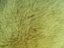 Golden fur background. Seeing a color and detail of hair is a beautiful Stock Images