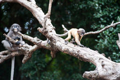 Golden fure baby dusky leaf monkey Stock Photography