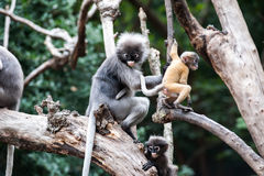 Golden fure baby dusky leaf monkey Stock Photos