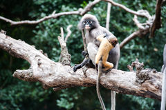 Golden fure baby dusky leaf monkey Royalty Free Stock Photo