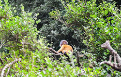 Golden fure baby dusky leaf monkey Stock Image
