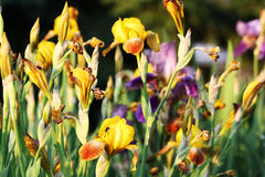 Golden Garden. Golden flowers in a garden at sunset Royalty Free Stock Image