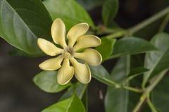 Golden Gardenia Flower. Blooming on tree in tropical garden royalty free stock photo