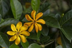 Golden Gardenia Flower. Blooming on tree in tropical garden stock image
