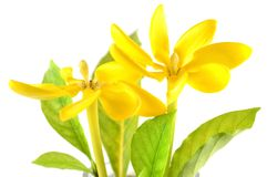 Golden gardenia flower Stock Images