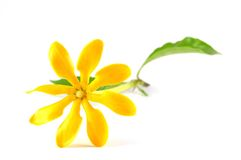 Golden gardenia flower Stock Photos