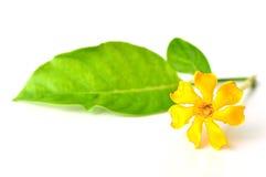 Golden gardenia flower Stock Image