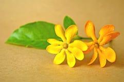 Golden gardenia flower Royalty Free Stock Photo