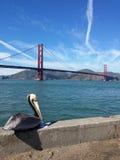 Golden gate bridge med pelikan Arkivbild