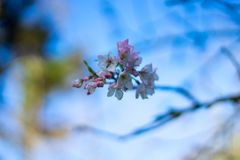 Cherry blossom in March stock photography
