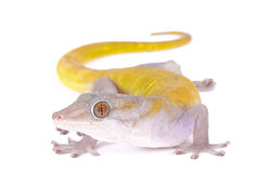 Golden gecko, Gekko badenii. The Golden gecko, Gekko badenii, is a large, nocturnal lizard species found in Vietnam stock image