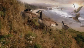 Golden Geese. Canadian geese feeding on the slopes of a scenic West coast shore-line. Here's a very dramatic Royalty Free Stock Image