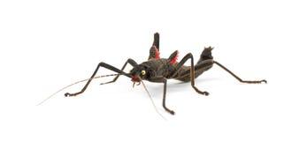 Golden-gemustertes Steuerknüppel-Insekt, Peruphasma schultei Lizenzfreies Stockfoto