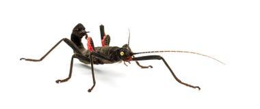 Golden-gemustertes Steuerknüppel-Insekt, Peruphasma schultei stockfotografie