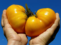 Golden giant tomato Stock Photos