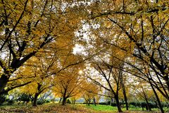 Golden gingko forest in the sun. In China Royalty Free Stock Image