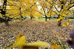 Golden gingko forest in the sun. In China Stock Photo