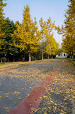 Golden gingko in street Stock Photos