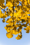 The golden ginkgo leaves royalty free stock image