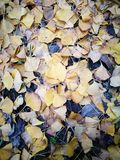 Golden ginkgo leaves fully covering the ground. Beside the apartment Royalty Free Stock Photo