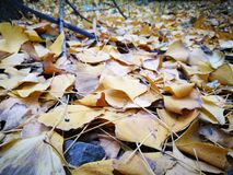 Golden ginkgo leaves fully covering the ground. Golden ginkgo leaves fully covering on the ground Royalty Free Stock Image