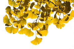 Golden ginkgo leaves Royalty Free Stock Photos