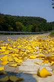Golden ginkgo leaves on a mountain road Royalty Free Stock Images