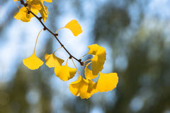 Golden ginkgo leaves. In a sunny day Stock Photos