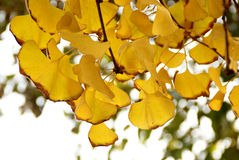 Golden Ginkgo Leaves Stock Image