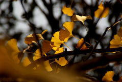 Golden Ginkgo Leaves Royalty Free Stock Photo