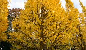 Golden ginkgo tree. Ginkgo branch and sky,Yellow gingko trees Royalty Free Stock Photos
