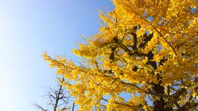 Golden ginkgo tree. Ginkgo trees in Autumn in Tokyo Japan Royalty Free Stock Photos