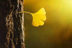 Golden Ginko Biloba leaf in a bark of tree Royalty Free Stock Photo