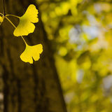 Golden Ginko Biloba leaves  - Square composition Stock Image