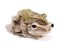 Golden gliding frog (Polypedates leucomystax ) pair. Golden gliding frog (Polypedates leucomystax ) in ample, mating position Stock Image