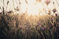 Golden glowing dry grass. Field of dry wild weed Royalty Free Stock Photos