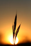 Golden glowing sun and silloue. A single plant sillouetted against a golden glowing round setting sun Royalty Free Stock Images