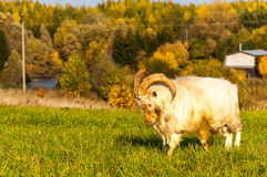 Golden Goat. Homemade goat in the pasture in the Russian provinces Royalty Free Stock Photography