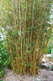Golden Goddess Bamboo Bambusa glaucesens. At Florida Botanical Garden royalty free stock photos