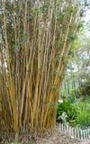 Golden Goddess Bamboo Bambusa glaucesens. At Florida Botanical Garden stock image